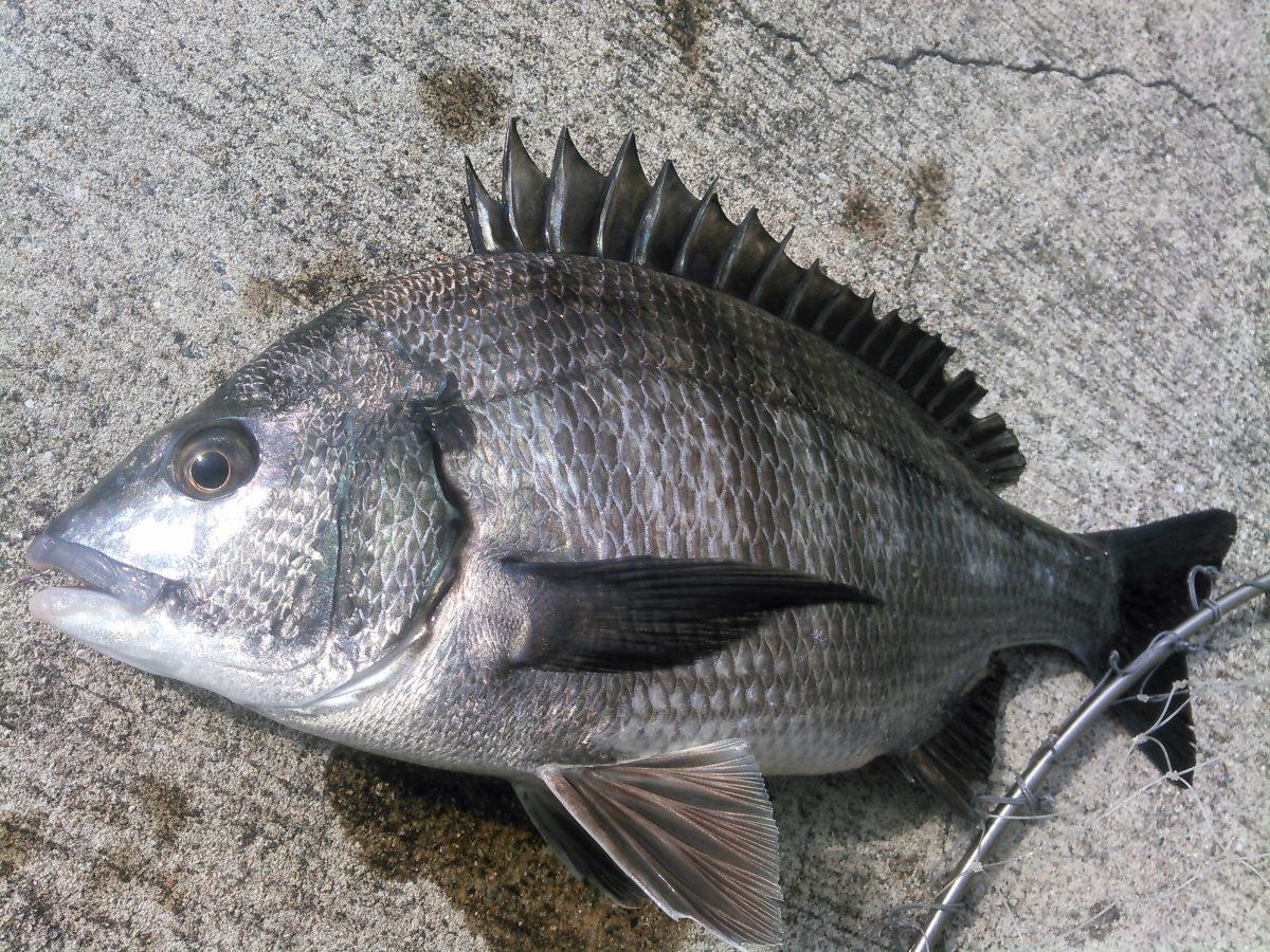 チヌ・茅渟・黒鯛のお話