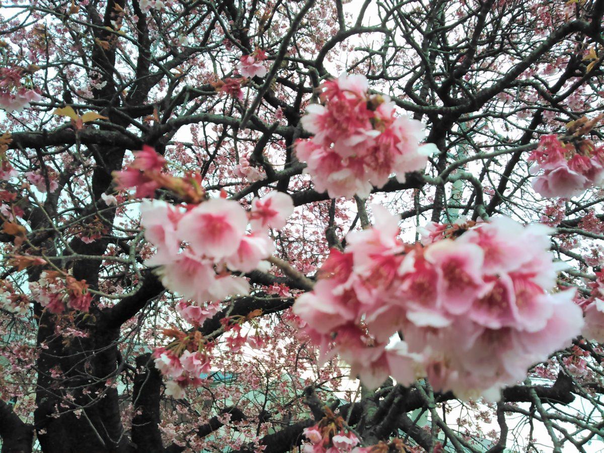 梅は咲いたか~♪桜は~まだかいな?